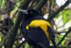 Cacicus-crhysonotus-Foto-RamiroRamirez