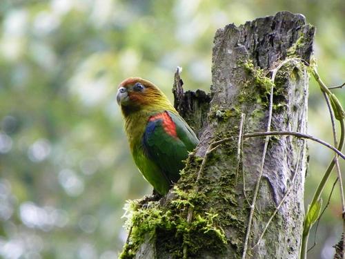 Hapalopsittaca-amazonina-velezei-Foto-Tatiana-Botero
