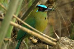 Momotus-aecuatorialis-Foto-WladimirGiraldo-