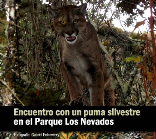 PumaNevados2011